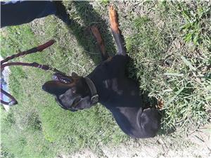 Rottweiler de vânzare  - imagine 2