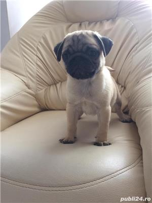 Mops pug/bej - imagine 1