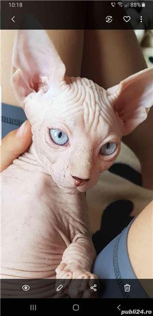 Pisica sphynx sfinx - imagine 1