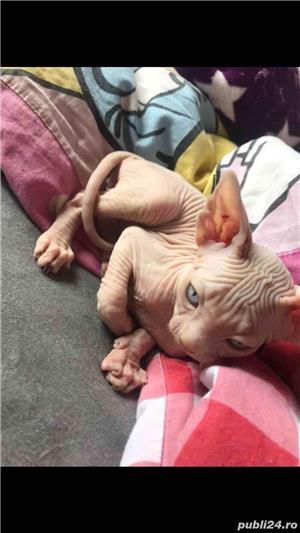 Pisica sphynx sfinx - imagine 2