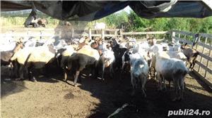 Vând capre!! - imagine 2