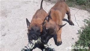 Ciobanesc belgian malinois - imagine 3