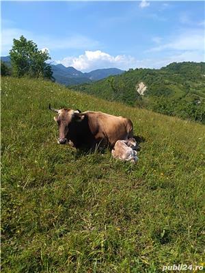 Vaca de vânzare  - imagine 1