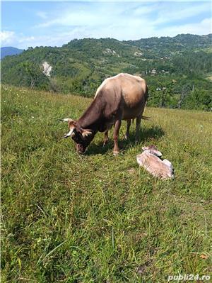 Vaca de vânzare  - imagine 3