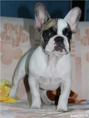 Pui Bulldog Francez de calitate - imagine 6