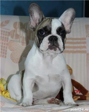 Pui Bulldog Francez de calitate - imagine 8