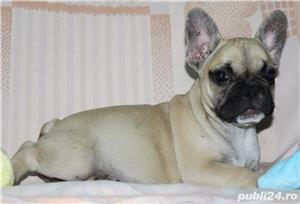 Pui Bulldog Francez de calitate - imagine 3