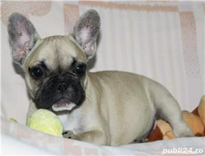 Pui Bulldog Francez de calitate - imagine 7