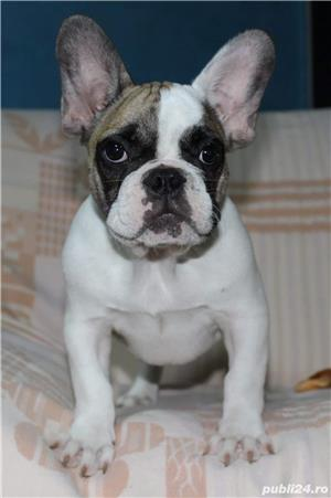 Pui Bulldog Francez de calitate - imagine 4