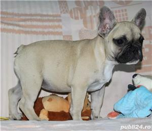 Pui Bulldog Francez de calitate - imagine 5