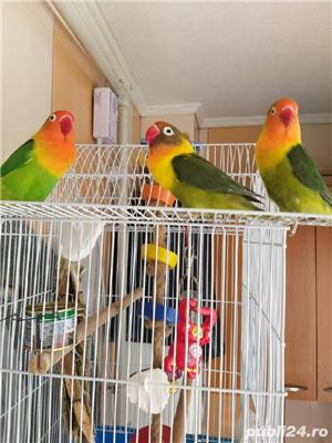 Vând papagali agapornis fischer Baia Mare  - imagine 1