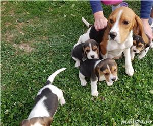 Pui beagle - imagine 3