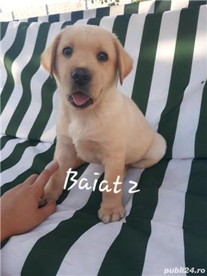 Labrador Retriever de vanzare  - imagine 10