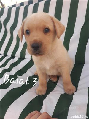 Labrador Retriever de vanzare  - imagine 9