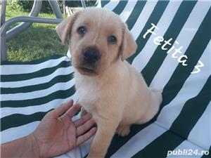 Labrador Retriever de vanzare  - imagine 7