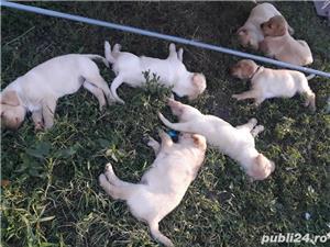 Labrador Retriever de vanzare  - imagine 8