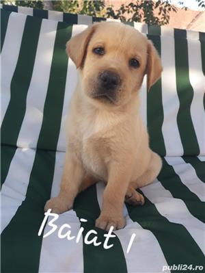 Labrador Retriever de vanzare  - imagine 2