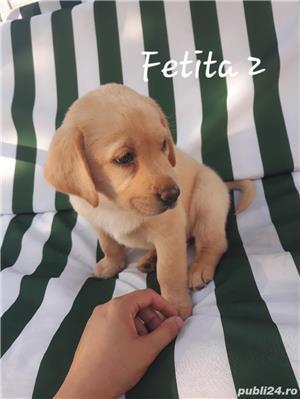Labrador Retriever de vanzare  - imagine 4