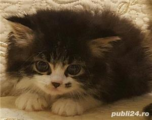 vand pui pisica norvegiana de padure de calitate crescuti in casa  - imagine 8