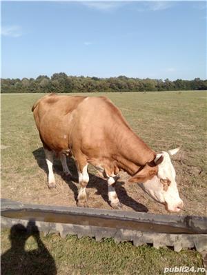 Vaci de lapte  - imagine 1