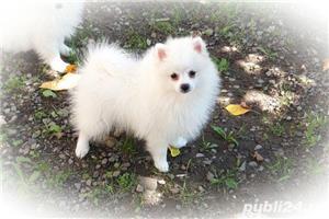 Pomeranian pui - imagine 1