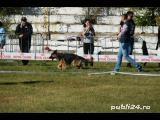 Femela ciobanesc german cu pedigree  - imagine 2