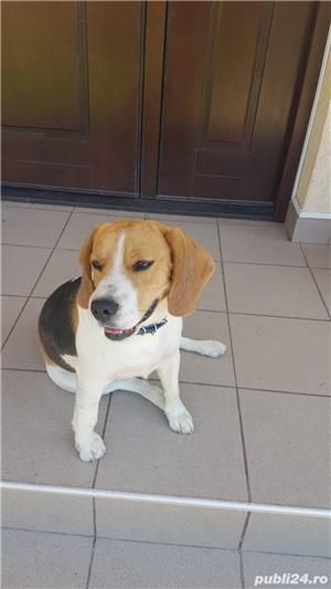 Beagle pentru monta - imagine 2