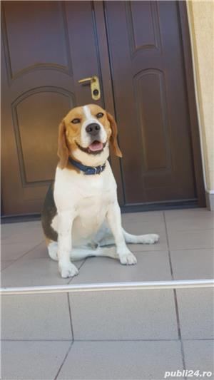 Beagle pentru monta - imagine 5