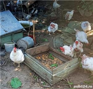 Vând găini crescute natural - imagine 5