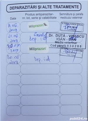 British shorthair tabby whiskas Rasă pură certificată cu deparazitarile și vaccin la zi. Poze reale - imagine 2