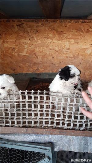 Patru băieței şi o fetița bichon maltez cu shih-tzu - imagine 2