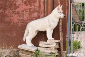 Pui husky cu pedigree tip A -parinti campioni  - imagine 3