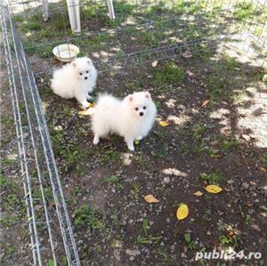 Pomeranian pui - imagine 2