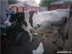 Vând vacă cu vițel  - imagine 1