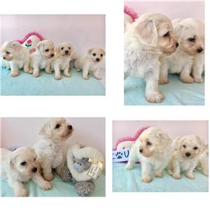 Puiuti Bichon - imagine 1