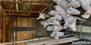 Vand 20 de porci de crescut  - imagine 2