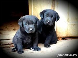 Labrador  - imagine 6