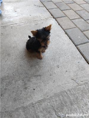Yorkshire terrier mijitoy - imagine 3