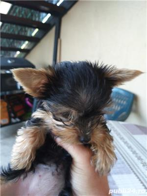 Yorkshire terrier mijitoy - imagine 4