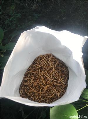 Vand viermi de faina - Mealworms - imagine 1