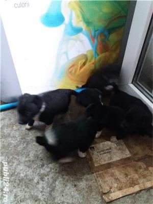 ofer spre adoptie pui caine rasa comuna talie medie si mica - imagine 8
