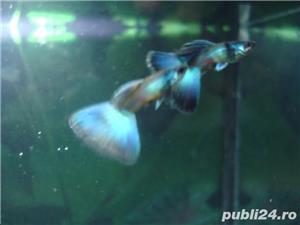 Guppy blue moscow - imagine 2
