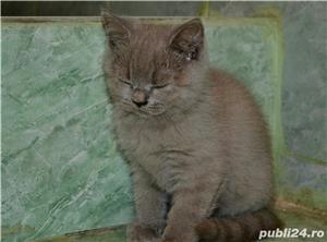 Pisoi British Shorthair - imagine 12