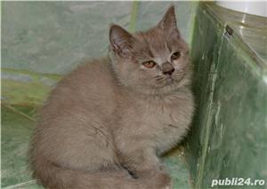 Pisoi British Shorthair - imagine 4