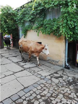 Vând 2 vaci, fiecare cu vițel - imagine 3