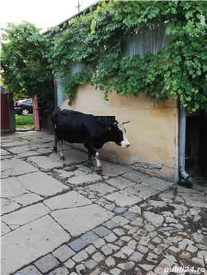 Vând 2 vaci, fiecare cu vițel - imagine 2