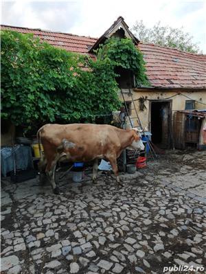Vând 2 vaci, fiecare cu vițel - imagine 6
