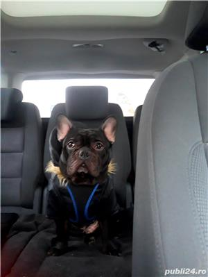 Monta Bulldog francez  - imagine 2