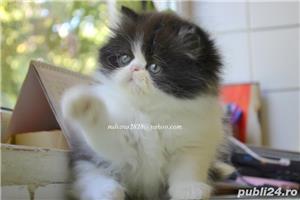 Pui persani Superbi !!! - imagine 4