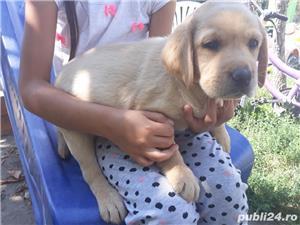 Labrador Retriever de vanzare  - imagine 5